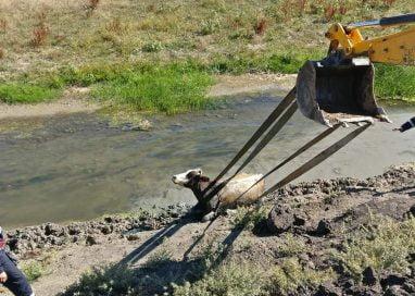 EVENIMENTBovină căzută în râul Jijia, salvată de pompieri