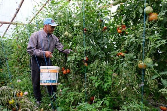 """REPORTAJ Roşii 100% bio, în cea mai """"gustoasă"""" fermă de legume. Producător,  nea' Costel Epure din Vârfu Câmpului"""