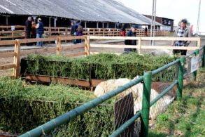 ADMINISTRATIE700 de crescători de oi botoşăneni au depus cereri pentru subvenţii la lână